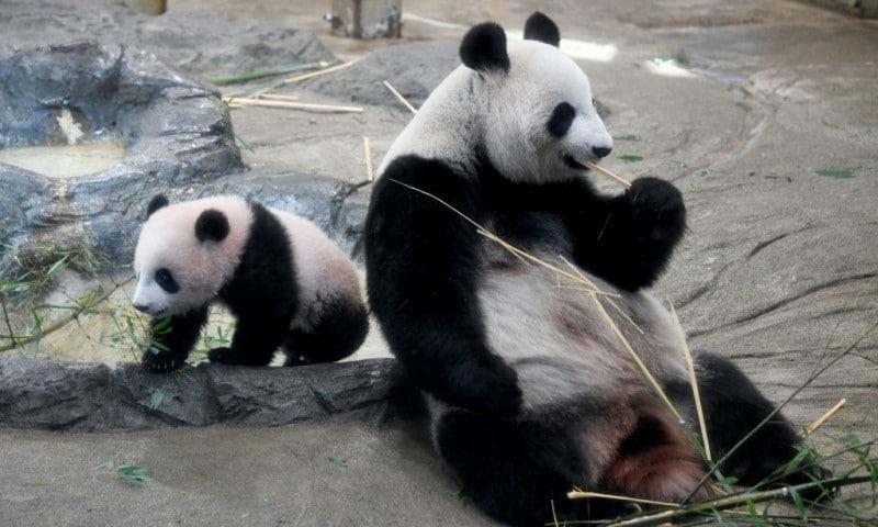 Female giant Panda Shin Shin
