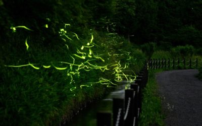 Thousands of Fireflies Dance Alone Without Spectators This Year