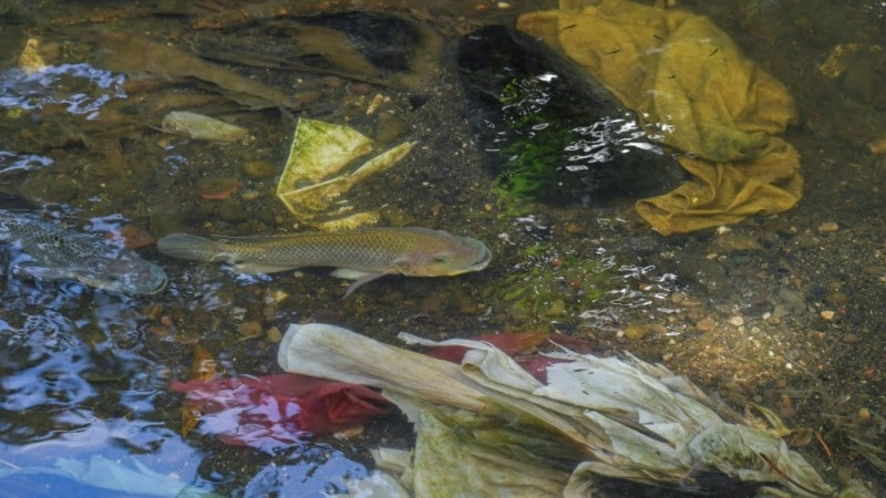 Fish Swim Among Garbage Dump