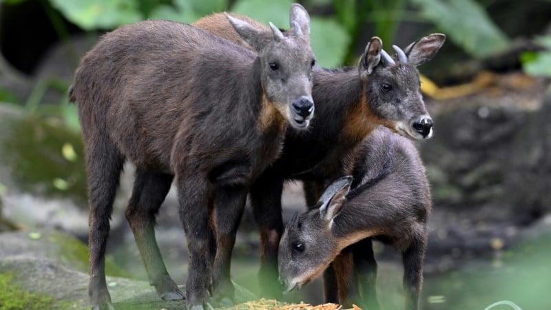 Formosan Serows at Taipei Zoo
