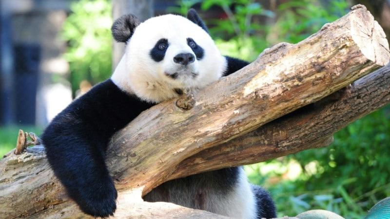 Giant Panda in Washington