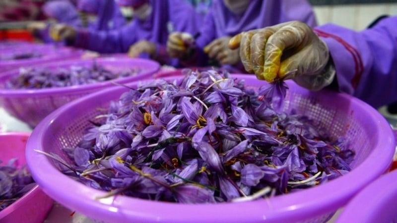 Gloved saffron workers
