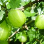 Amla: The Wonders of Indian Gooseberries