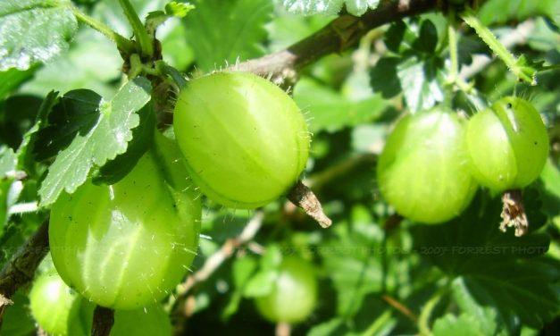 Amla: The Wonders of Indian Gooseberries