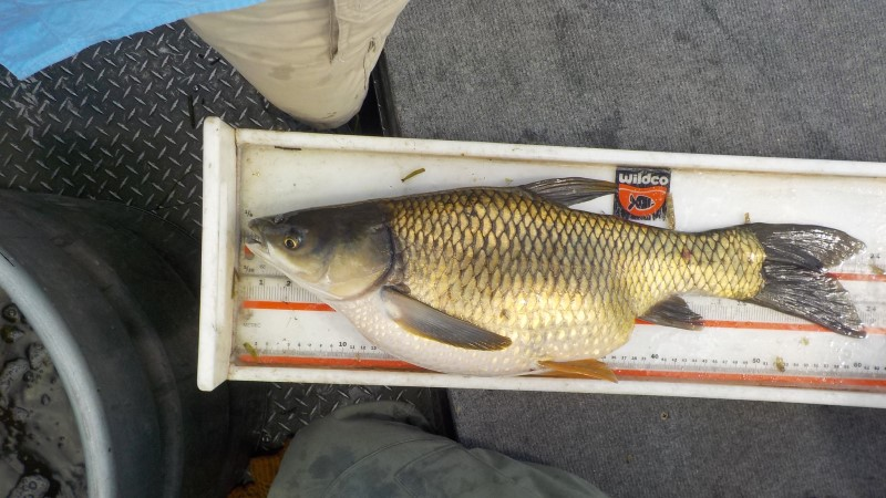 Grass Carp - Ctenopharyngodon ©Florida Fish and Wildlife