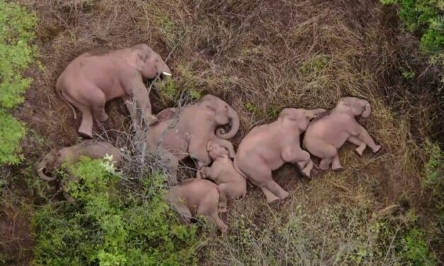 China's Trekking Elephants Wait for Youngster to Catch Up