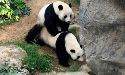 Pandas Finally Mate in Privacy While Theme Park Shutdown