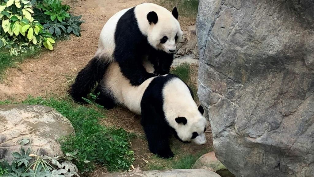 Hong Kong Panda Mating.ap