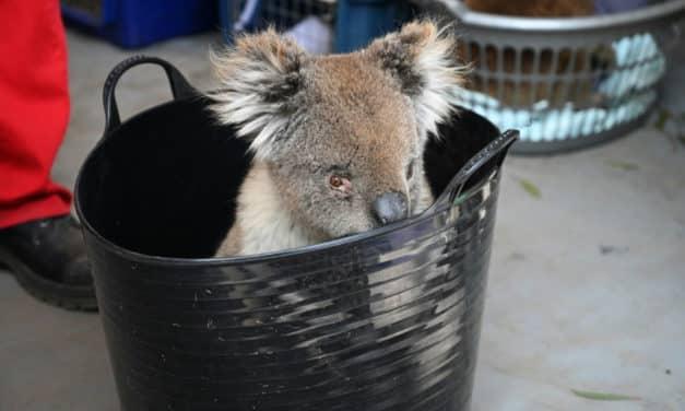 Makeshift Hospital Saving Dozens of Koalas Injured in Bushfires