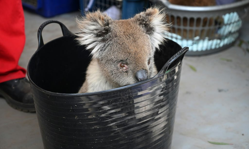 Injured Koala Awaits Treatment Australia.afp