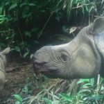 Extremely Rare Endangered Javan Rhino Calves Spotted in Indonesian Park