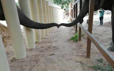 Kaavan the Elephant Makes a New Friend after Eight Years