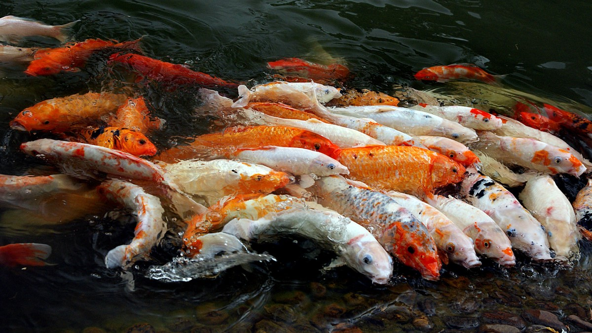 Koi Fish - China