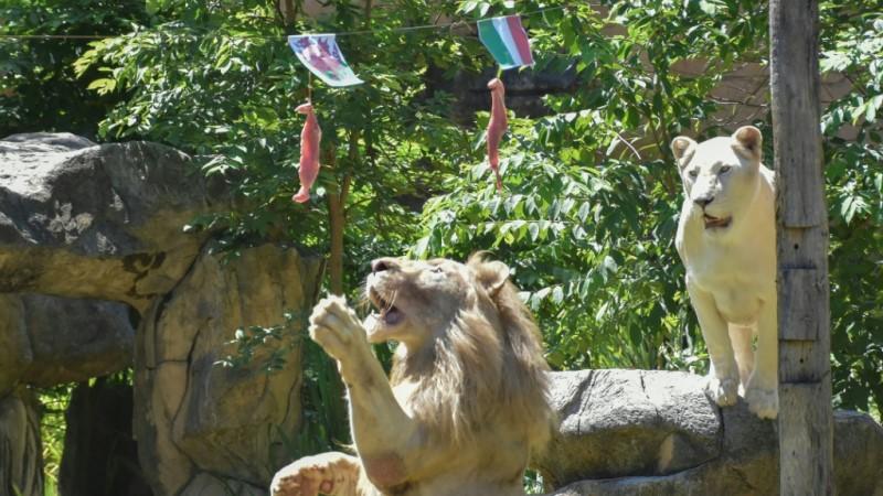 Lion Predicting Victory