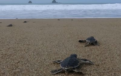 Indonesian Baby Sea Turtles Make a Break for Freedom