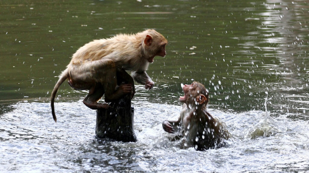 Monkeys Took Public Ponds to Escape the Heat in India.afp