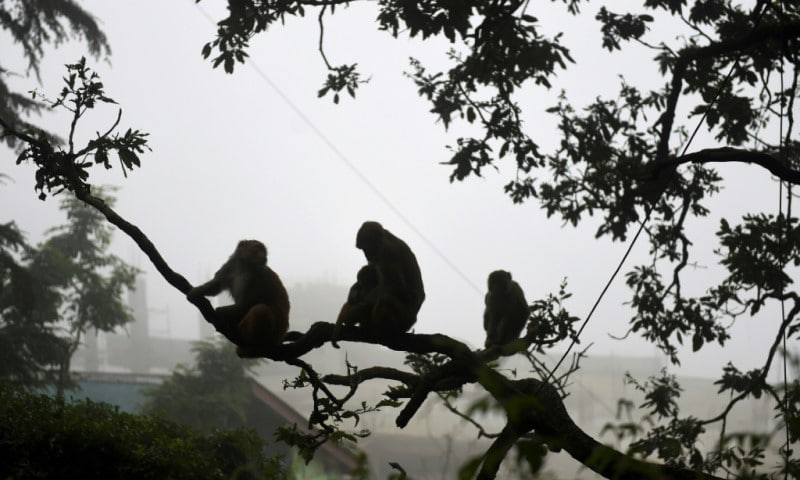 Monkeys in Indian Cities