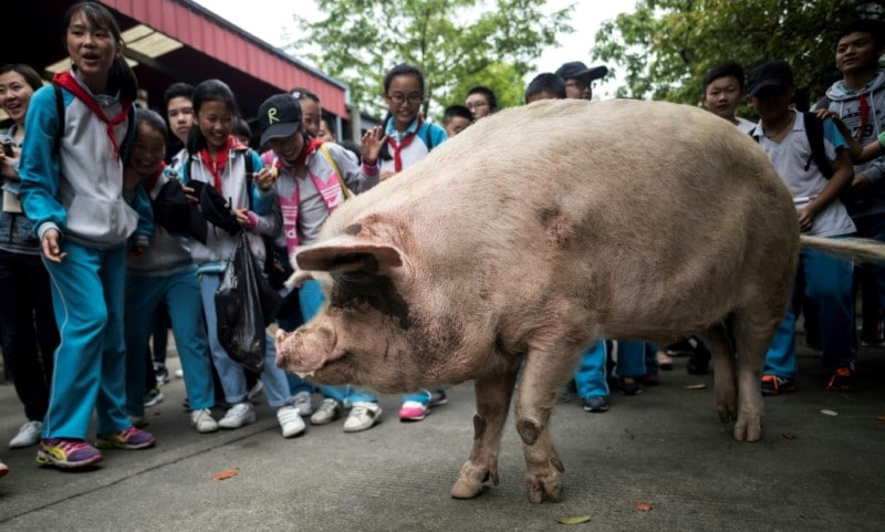 Most Famous Pig in History