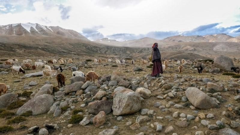 Nomadic Changpa Herders Roam the Vast Chantang Plateau.afp