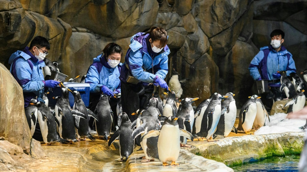 Ocean Park Carers Feeds the Penguins.afp