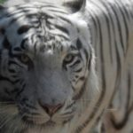 On-the-Loose Tiger Captured alive after Indonesia Zoo Escape