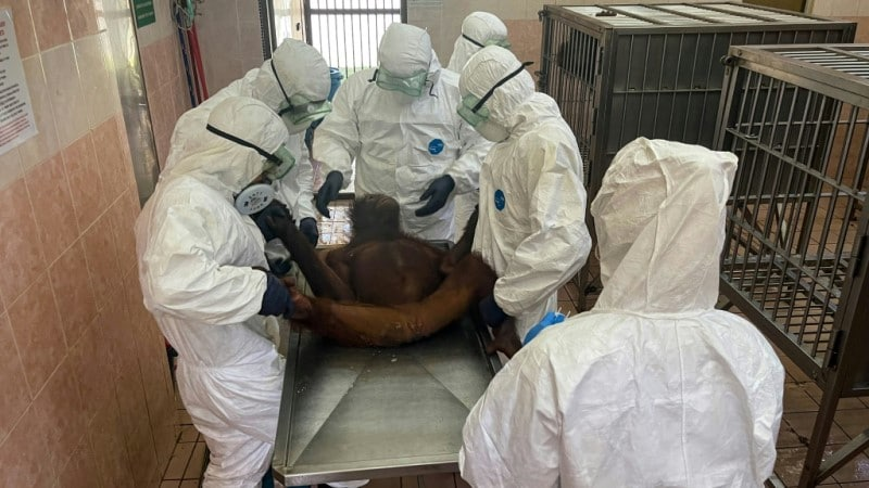 Orangutans Being Tested for Covid-19
