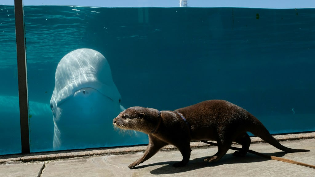 Otter and the Beluga Whale in Japan.afp