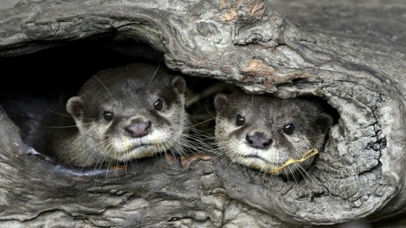 Otters at Taipei Zoo