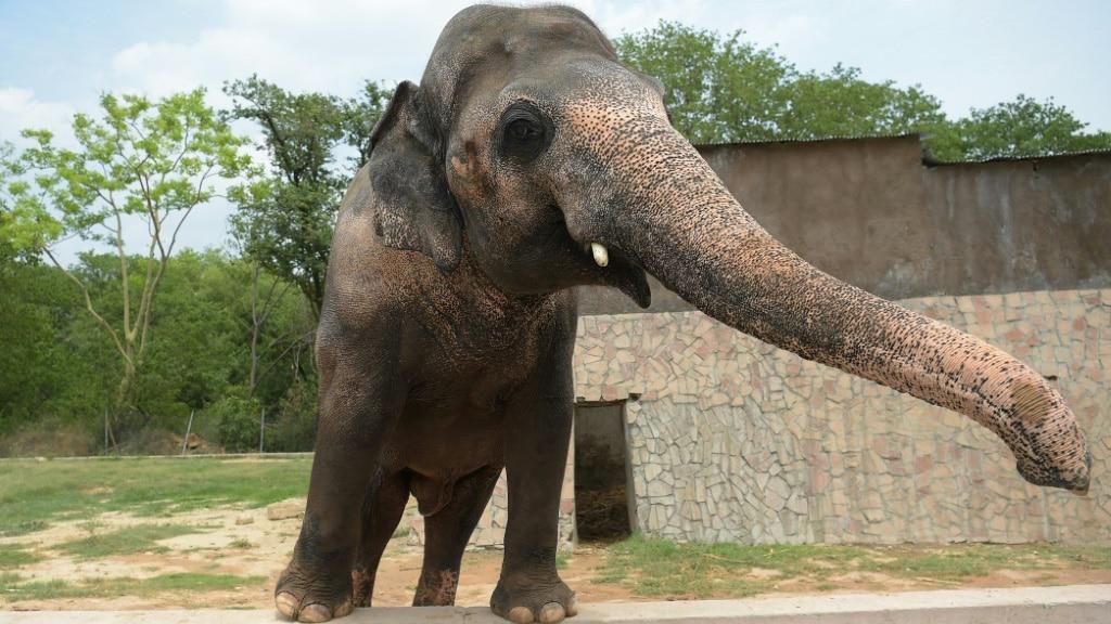 Pakistani Elephant Kaavan at the Zoo in Islamabad in 2016.afp