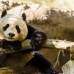 San Diego Zoo Returns Adorable Pandas to China