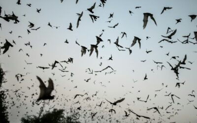 Bats with COVID-Like Viruses Found in Laos