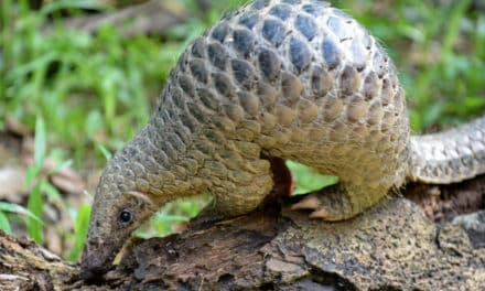 Why Coronavirus Could Help Save the Most Trafficked Mammal on Earth