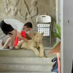 Chinese Owner has Pet Lion Confiscated in Cambodia