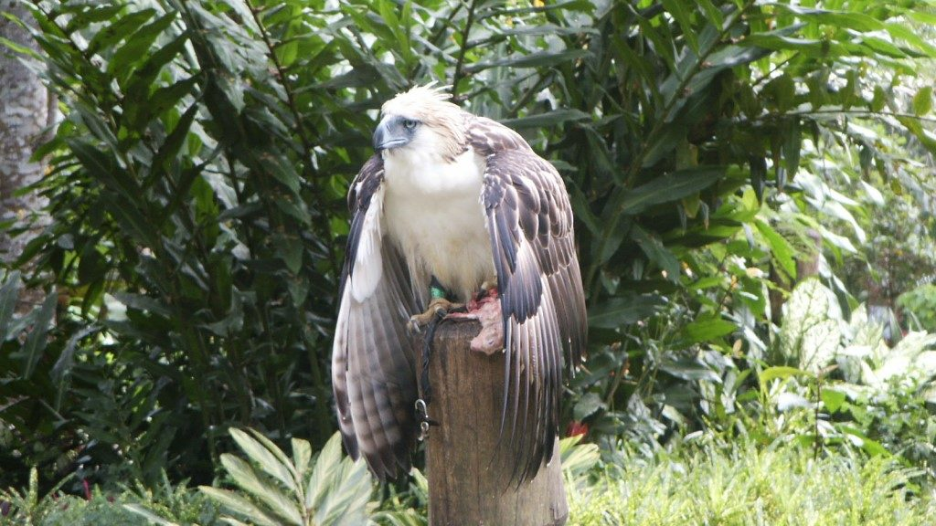 Philippine's Eagle - Gary Todd