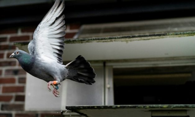 Racing Pigeon Sells for Record $1.9M to Chinese Fancier