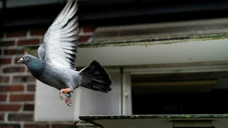 Pigeon Racing in China