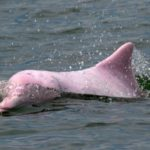 Back in the Pink: Hong Kong Dolphins Enjoy Rare Quiet as Pandemic Halts Ferries