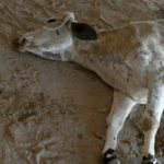 156lb of Waste Found in India's Stray Cow's Stomach