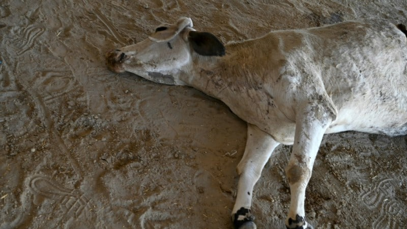 Plastic Waste in Cow's Stomach