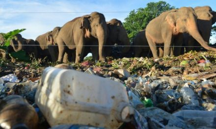 Sri Lanka Battles to Stop Elephants Eating Plastic Trash
