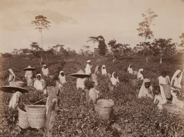 Plucking Tea at Ceylon | Museum of Photography Unknown