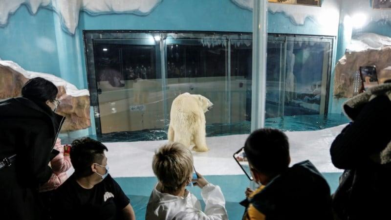 Polar Bears Panoramic Prison
