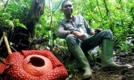 World's Biggest Flower Bloom Spotted in Indonesia