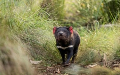 Tasmanian Devils Released on Australian Mainland after 3,000 Years