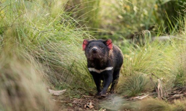Tasmanian Devils Released on Australian Mainland after 3,000 Years