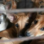 A Cambodia Slaughterhouse that has Killed More than a Million Dogs is Closed
