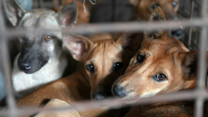 Raw Dog Meat Supply