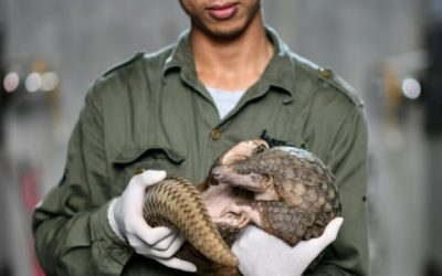 Life Still Precarious for Pangolins Despite Vietnam's Illegal Trade Crackdown