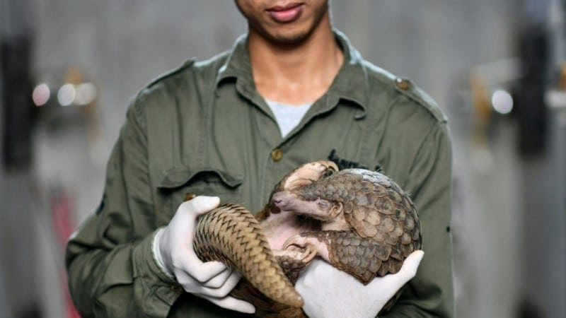 Rescued Pangolin in Vietnam
