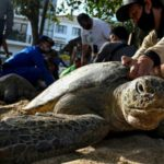 Bali Sea Turtles Set Free after Poacher Arrests